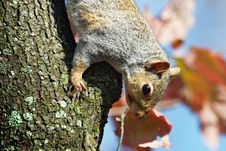 Free Squirrel Climbing Down Tree Stock Images - 4803944