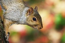 Free Squirrel Climbing Down Tree Royalty Free Stock Images - 4803949