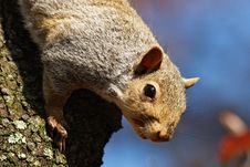 Free Squirrel Climbing Down Tree Stock Photo - 4803950