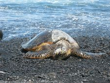 Free Sea Turtle 86 Royalty Free Stock Photography - 4806147