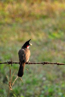 Free Indian Red-Whishkered Bulbul Royalty Free Stock Photography - 4806167