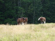 Draft Horses Grazing Royalty Free Stock Images