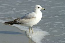 Free Sea Gull Stock Photos - 4806753