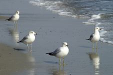 Free Sea Gull Group Royalty Free Stock Photo - 4806755