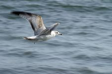 Free Sea Gull Royalty Free Stock Image - 4806766