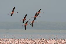 Free Flamingos Are Flying Over A Lake Stock Images - 4806844