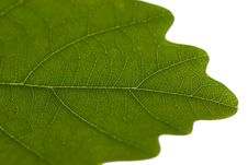 Free Oak`s Leaf With Small Vein Stock Images - 4807284