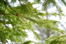 Conifer Branchlets. Stock Photos