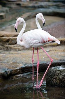 Free Twin Flamingo Stock Photo - 4808050