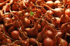 Free Growing Onions Stock Photography - 4808292