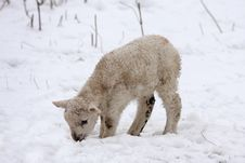 Free Spring Lamb In The Snow Stock Photography - 4808922
