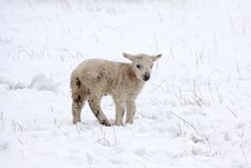 Free Spring Lamb In The Snow Stock Image - 4808971