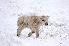 Free Spring Lamb In The Snow Royalty Free Stock Images - 4808989