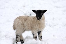 Free Spring Lamb In The Snow Stock Images - 4809004