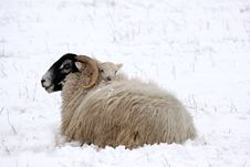 Free Spring Lamb In The Snow Stock Photography - 4809142