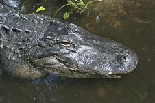 Alligator Close-up Royalty Free Stock Photo