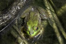 Free Green Frog Eyes Stock Photo - 4809250