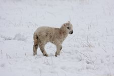 Free Spring Lamb In The Snow Stock Photos - 4809423