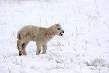 Free Spring Lamb In The Snow Royalty Free Stock Photos - 4809468