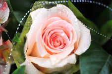 Free Beautiful Rose For Lover Royalty Free Stock Images - 4809489