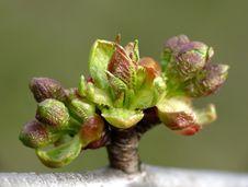 Free Cherry Tree Buds Royalty Free Stock Photos - 4809938