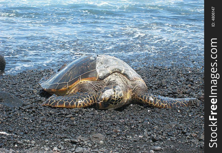 Sea Turtle 86