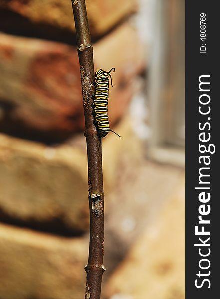 Caterpillar walking on stem