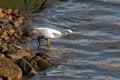 Free White Egret Stock Photos - 48024243