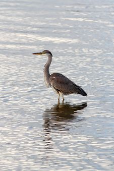 Free Heron Stock Photos - 48057283