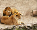 Free Lion And Lioness Have A Rest Stock Photo - 4810550
