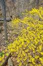 Free Fresh Forsythia Blossoms Royalty Free Stock Photos - 4813088