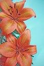 Free Orange Lily Flowers Stock Photo - 4815060
