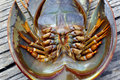 Free Malaysia, Langkawi: Strange Crustacean Royalty Free Stock Photo - 4816735