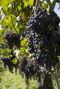 Free Black Grapes Royalty Free Stock Images - 4818899