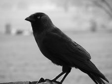 Free Raven Close Up Royalty Free Stock Photos - 4810248