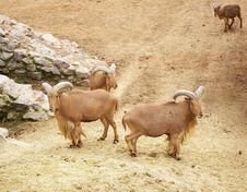 Free Wild Mountain Rams Royalty Free Stock Image - 4810586