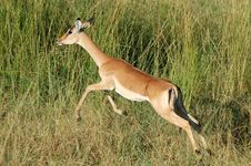 Free Impala Antelope Royalty Free Stock Photo - 4810815