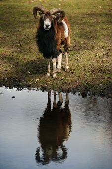 Free Ram Reflected On River Stock Photos - 4810943