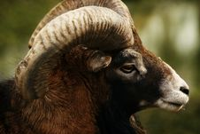 Free Ram Head Details Royalty Free Stock Photos - 4810948