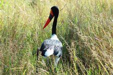 Free Saddle Billed Stork Stock Photos - 4811363