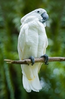 Free Cockatoo On A Tree Stock Photos - 4811993