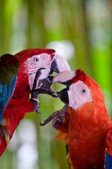 Free A Pair Of Scarlet Macaws Playing Royalty Free Stock Image - 4812526