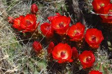 Free Barrel Cactus With Blooms Stock Photos - 4813413