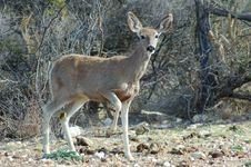 Free Mule Deer Royalty Free Stock Photo - 4813505