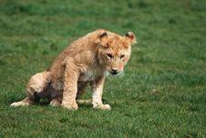 Free Lion Cub Stock Photos - 4814013