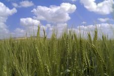Free Green Wheat Royalty Free Stock Image - 4814306