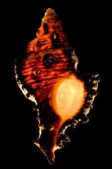 Glowing Murex Seashell Royalty Free Stock Photo