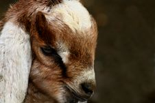 Free Kid Goat Profiles Stock Photography - 4815882