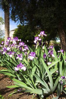 Free Spring Iris Stock Photos - 4816173