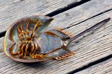 Free Malaysia, Langkawi: Strange Crustacean Royalty Free Stock Photos - 4816658